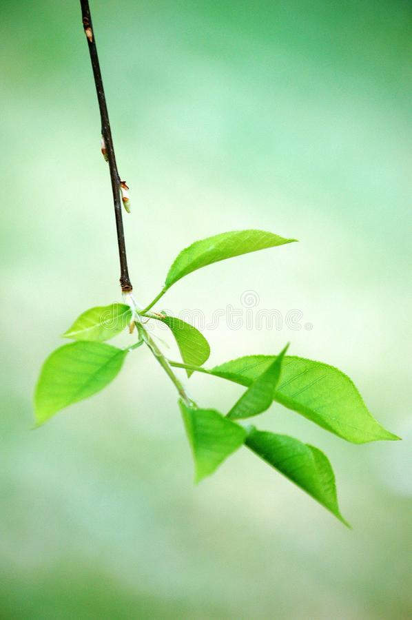 New leaves of heavy plum tree in spring stock photo