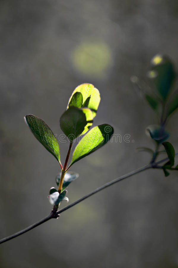 Free New Leaves In Early Spring Royalty Free Stock Photos - 24582028
