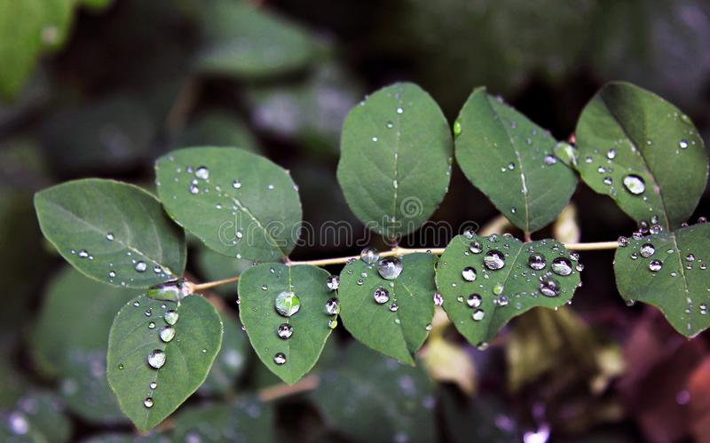 New leaves in the rain stock image