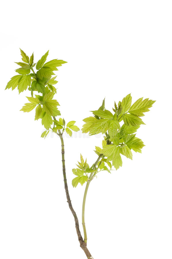 Download New Leaves On A Spring Tree Brunch Stock Image - Image: 6099879