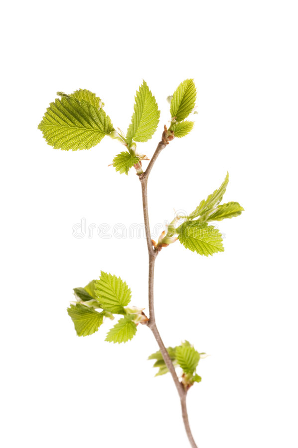 Download New Leaves On A Spring Tree Brunch Stock Image - Image: 6099927