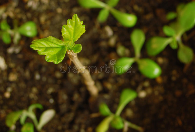 New life. Macro photo of little plant growing royalty free stock images