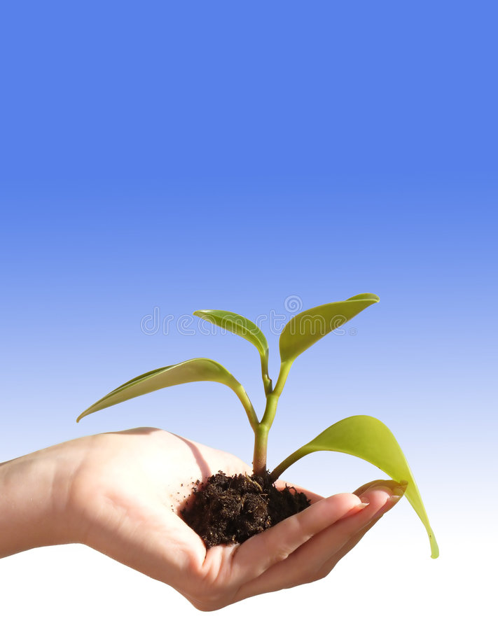 New Life. Feminine hand cupping a newly sprouted plant with a ball root of dirt still attached. Isolated on background of gradient sky blue to white royalty free stock photography