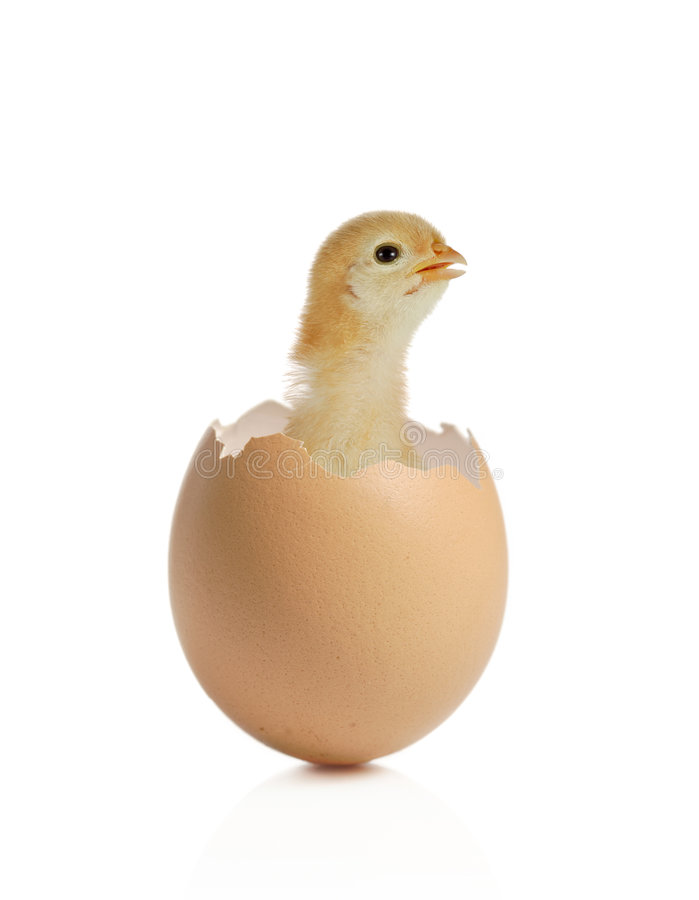 New life. Baby chicken coming out of an eggshell stock image
