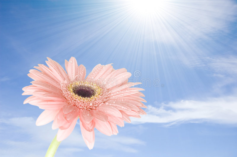 New life. Pink gerber flower against blue sky in the morning stock image