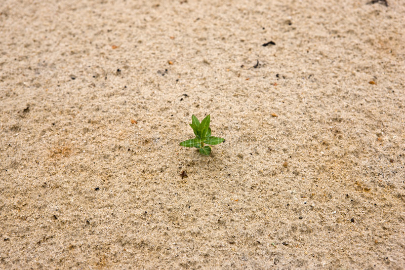 New life. At desert, small plant trying to grow stock photography