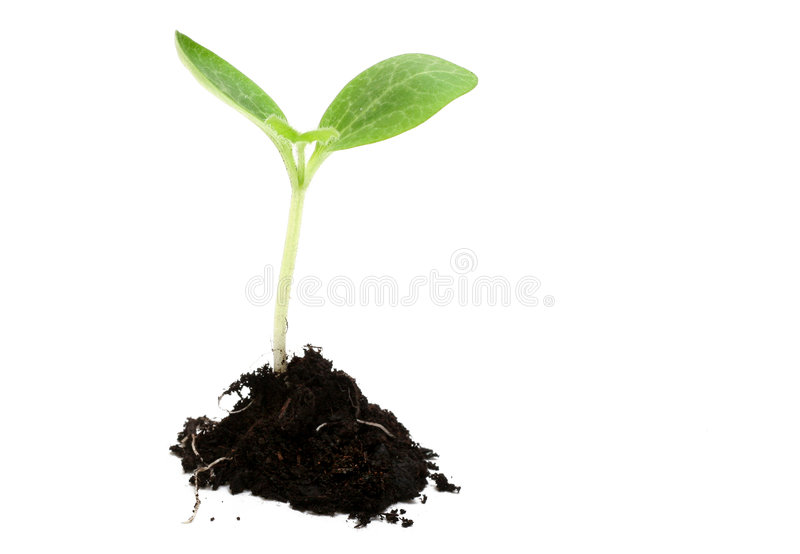 New Life. Baby plant in soil on white background royalty free stock photography