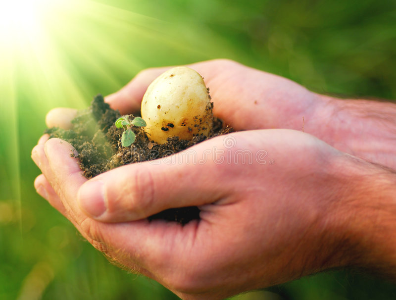 New life. Hand holding plant, potato seed stock image