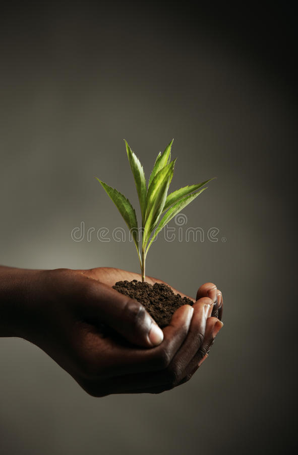 New life. African boy with seedling in his hands, close up royalty free stock images
