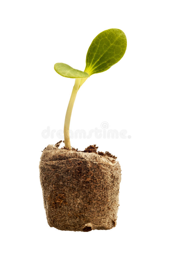 New Life Baby Squash Plant royalty free stock photography