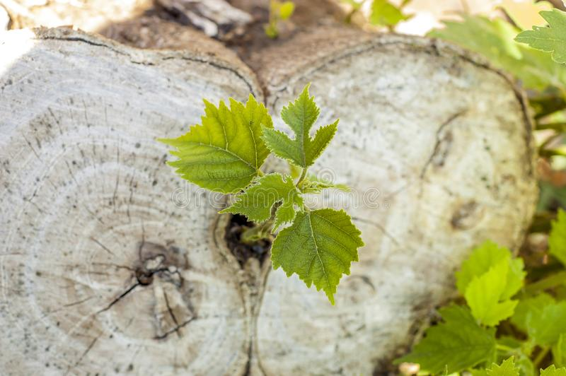 A new life begins. The shoot grows from a cut stump, shot from above royalty free stock image