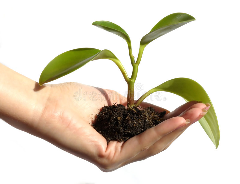 New Life Concept. Closeup of feminine hand cupping a newly sprouted plant with a ball root of dirt still attached. Isolated on background of white. Horizontal royalty free stock images