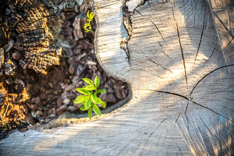 New Life concept with seedling growing sprout on the stump stock photo