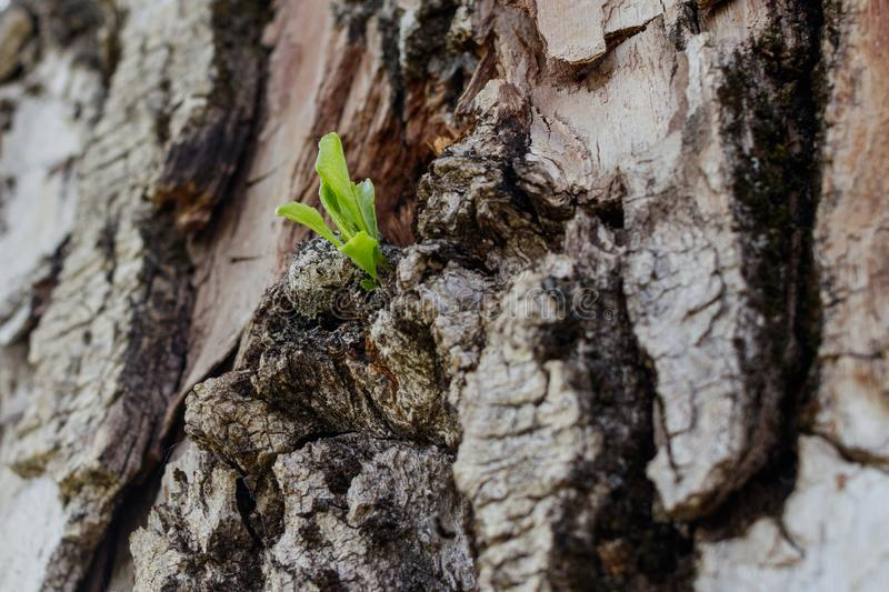 New life concept. A small sprout appears from the trunk of an old poplar tree stock photo