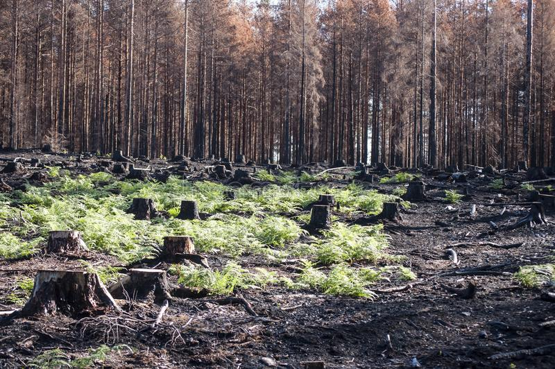 New life with green ferns in sunlight after forest fire. Burned black stumps and green ferns in sunlight after forest fire in regenerating glade and the new life stock photo