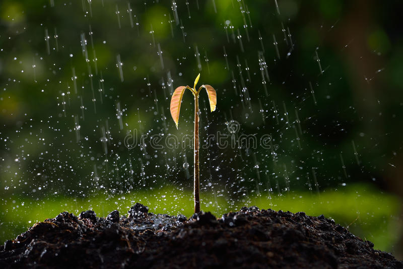 New life. Green sprouts in the rain. (mango tree royalty free stock images