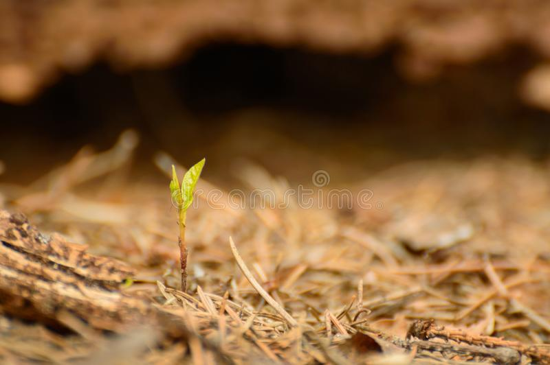 New life, the growth of a young plant in the forest undergrowth. Poland, New life, the growth of a young plant in the forest undergrowth needles leaf nature royalty free stock photography