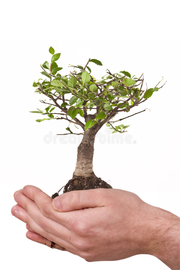 New life in hands. Male hands holding a small tree isolated on white background stock photo