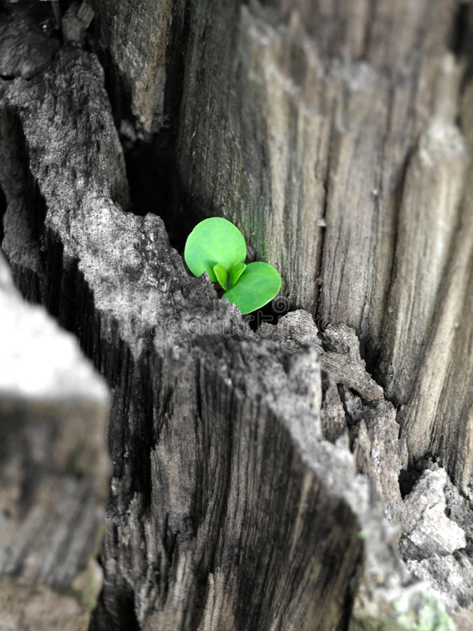 New Life - Hope. A new plant (life) growing from dry wood stock image