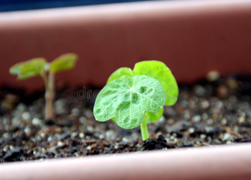 New life sprouts. Sprouts of tropaeolum - nasturtium in the pot early in the springtime stock photography