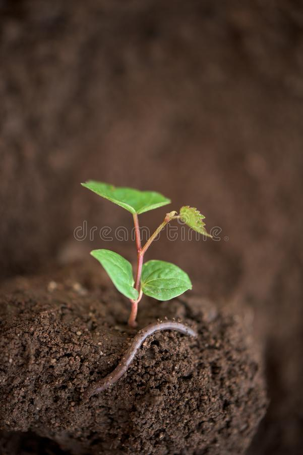New life - young plant. And a worm royalty free stock images