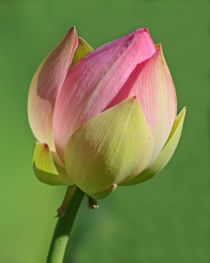 New Lotus Bloom royalty free stock photos