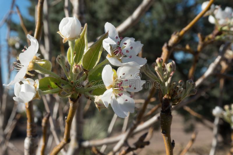 A New Mexico Pear Tree bloom. A pear tree blooms in the spring after a brief winter in southwest New Mexico royalty free stock images