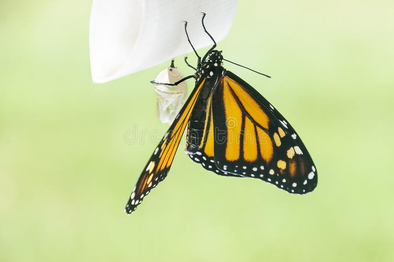 New monarch butterfly with chrysalis. A monarch butterfly newly emerged from its chrysalis prepares for its first flight with pale green background stock images