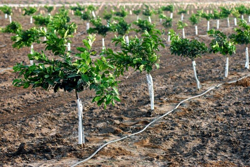 New orange seedlings stock photos
