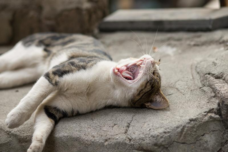 Why my life sucks! Funny stray cat is yawning. 2018 new photo, cute street cat is yawning, looks like shouting stock photos