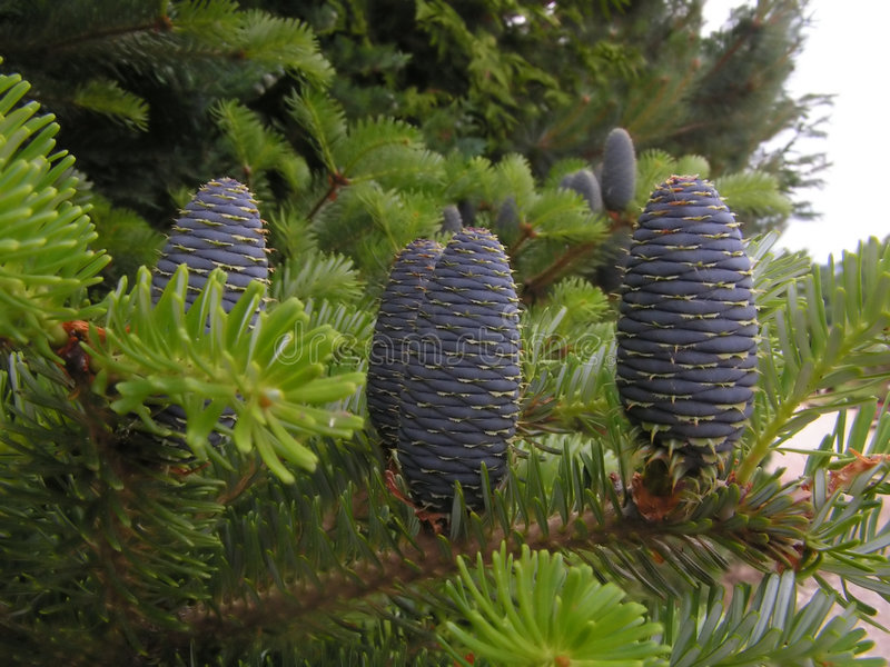 New pine cones royalty free stock photos