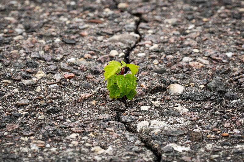 New plant grow in a cracked asphalt. Rising sprout on dry ground stock photography