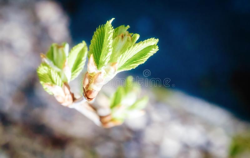 New plant life. Bloom, new leaves are tender and green. Soft focus. From the depth of the cut is the branch with young leaves. Small leaves ribbed royalty free stock image