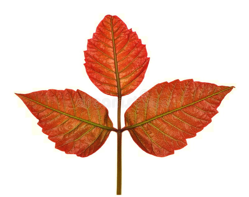 New Poison Ivy Leaves. (Taxicodendron radicans) as they appear in spring, isolated on a white background royalty free stock image