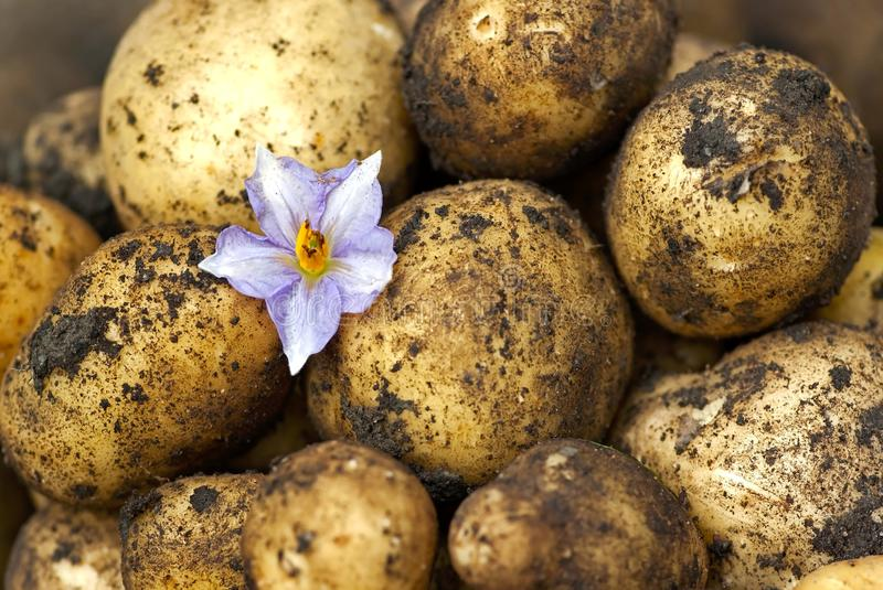New potatoes royalty free stock photography