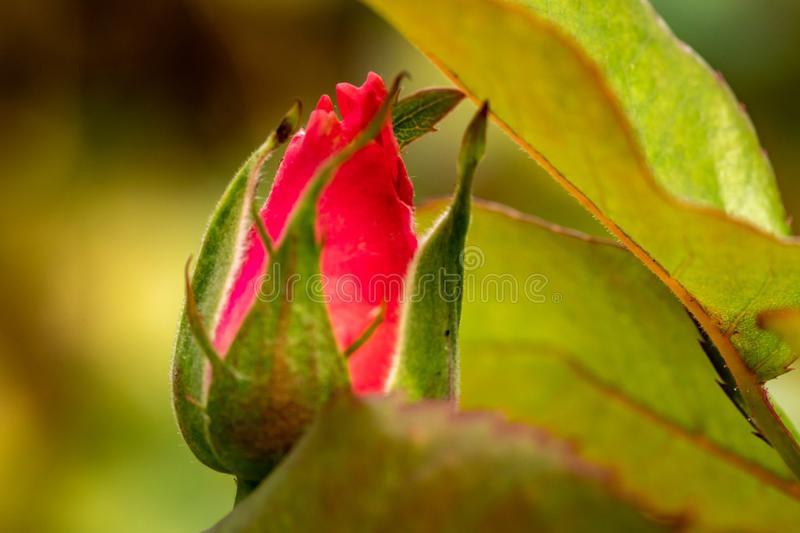 New red rose bud. Young graceful spray rose. A small bud of a blooming flower. Closeup of a rose bud in a garden. Natural backgrou royalty free stock photos