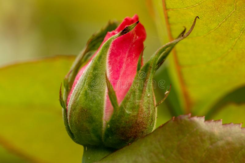 New red rose bud. Young graceful spray rose. A small bud of a blooming flower. Closeup of a rose bud in a garden. Natural backgrou stock image