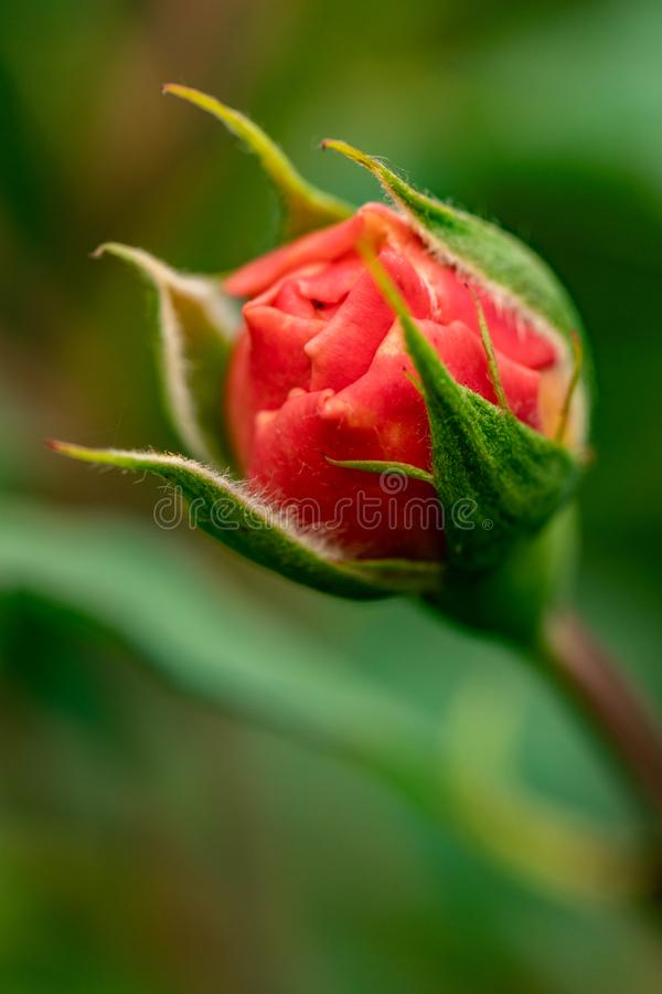 New red rose bud. Young graceful spray rose. A small bud of a blooming flower. Closeup of a rose bud in a garden. Natural backgrou royalty free stock photography
