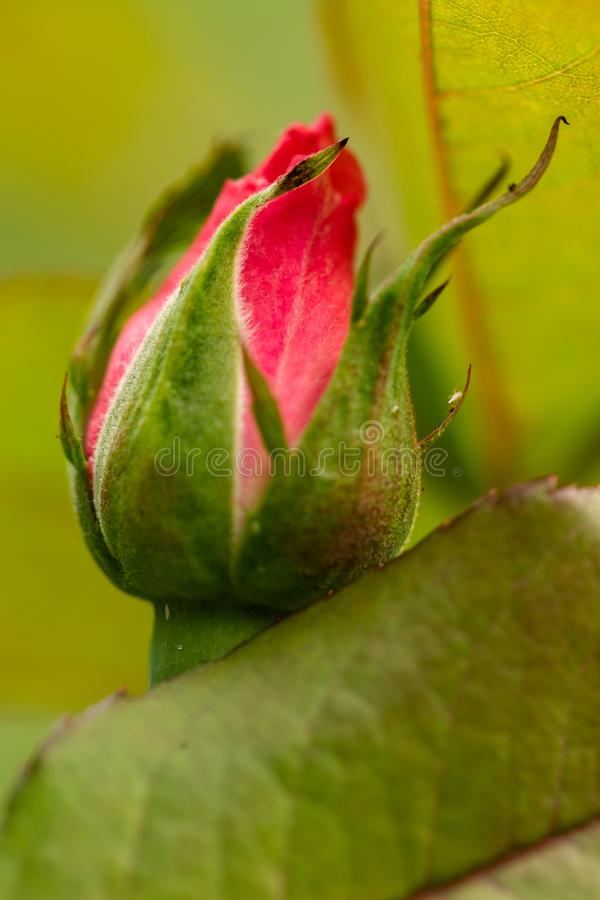 New red rose bud. Young graceful spray rose. A small bud of a blooming flower. Closeup of a rose bud in a garden. Natural backgrou royalty free stock photo