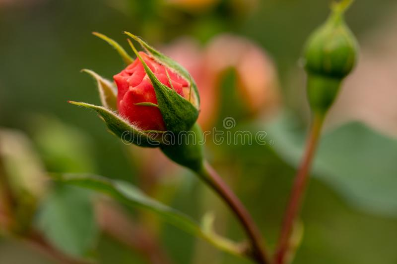 New red rose bud. Young graceful spray rose. A small bud of a blooming flower. Closeup of a rose bud in a garden. Natural backgrou stock photos