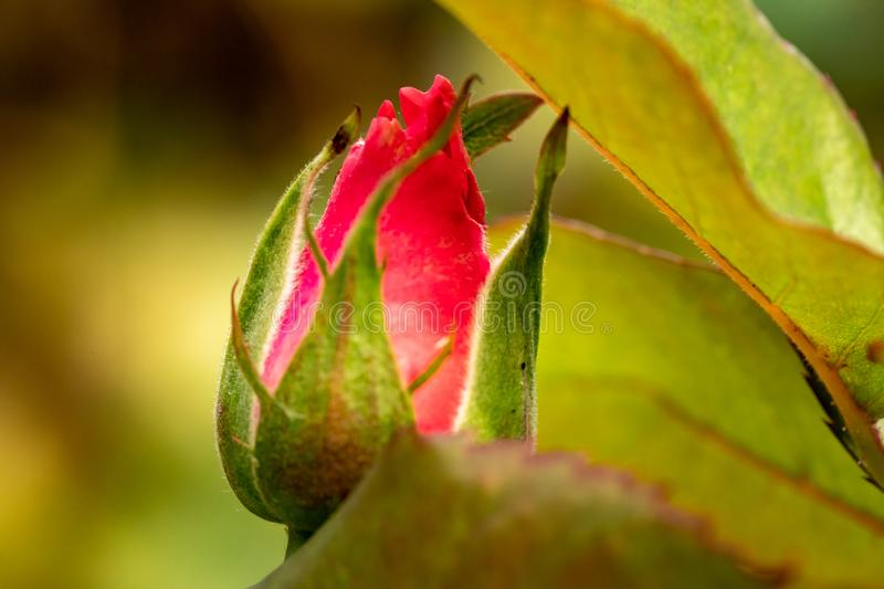New red rose bud. Young graceful spray rose. A small bud of a blooming flower. Closeup of a rose bud in a garden. Natural backgrou stock photography