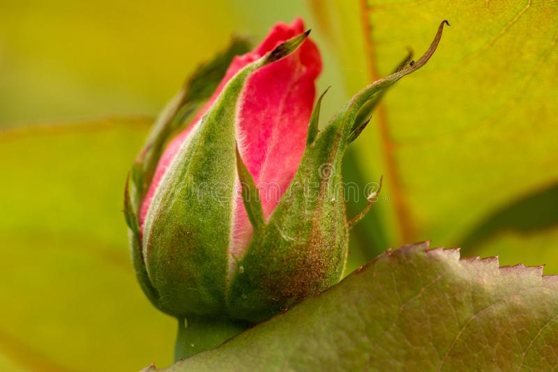 New red rose bud. Young graceful spray rose. A small bud of a blooming flower. Closeup of a rose bud in a garden. Natural backgrou royalty free stock image