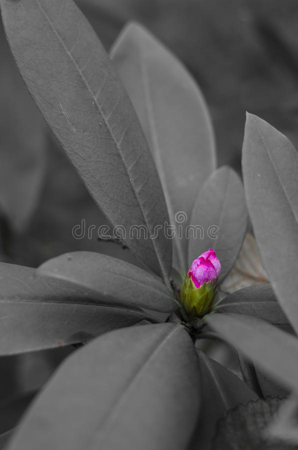 New Rhododendron bud color on black and white. A new pink rhododendron flower bud sprouts from the leaves in the forest stock photography