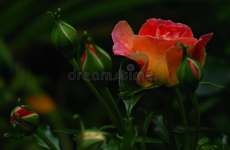 A New Rose of Spring. A new Rose bloom, glistening with rain drops, emerges in Spring amid further closed buds with a promise of more beauty to follow royalty free stock images