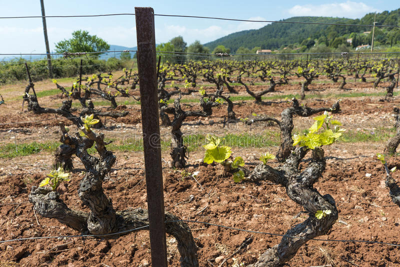 Download New season growth stock image. Image of grapevines, region - 41288009