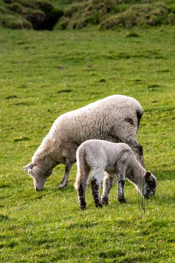 Free New Season`s New Zealand Lambs With Ewes Stock Photo - 155785040