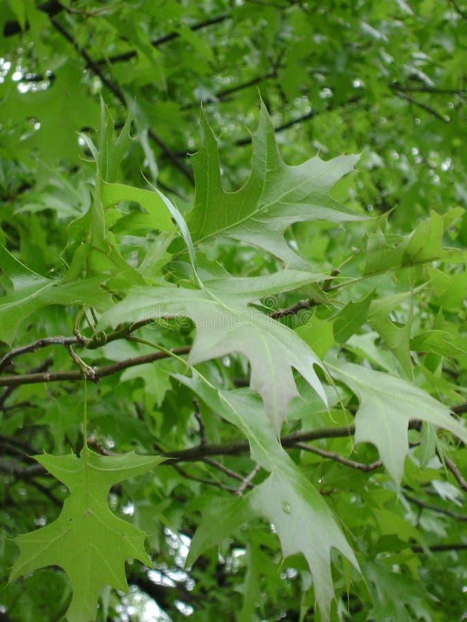 New sharp-edged oak leaves royalty free stock photos