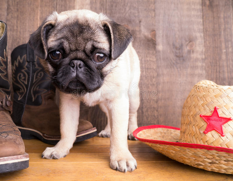 New Sheriff in Town - Cute Pug Puppy royalty free stock image