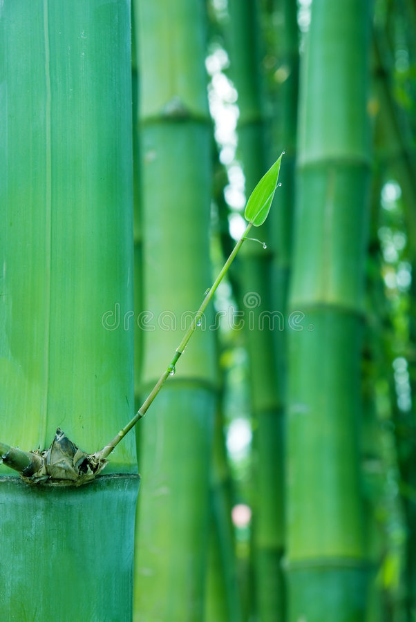 Free New Shoot Of Bamboo Stock Photos - 5050133