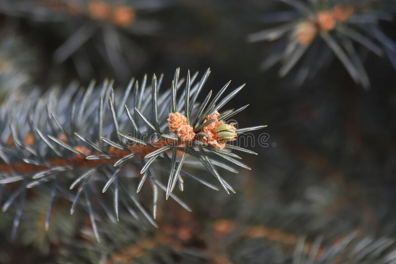 New shoot and young cones on a spruce tree. Closeup of a new shoot and young cones on a spruce tree stock photography